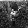 Chanticleer Christmas Tree Farm, Pittsfield, Ma. Undated photo by Craig F. Walker