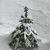 A spruce is covered in snow, December, 1964. Photo by William Tague.