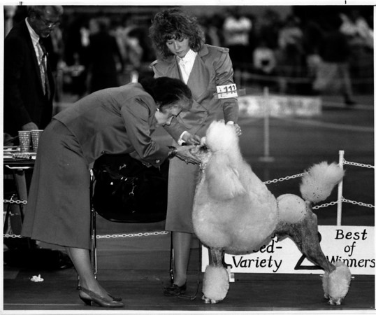 "Convention Center<br /> Dog Show<br /> Wyoming Valley Kennel Club Inc. Dog Show at the Convention Center.<br /> Allison Alexander of Toronto, Ont. shows off her dog ""Polo"" during the ""conformation"" open dog category and won first place in that competition.<br /> The judge (left) Mrs. Paula Bradley of Gaithersburg, Maryland checks out the ""standard Poodle's"" face.<br /> The conformation category is like a dog beauty contest.<br /> Photo - By James Neiss - 2/24/1990."