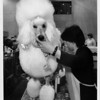 Convention Center - Bookings<br /> This standard poodle, known as smiles, gets the works in beauty grooming from her pet groomer, Tae Inoue. These two are from Deleware, and Smiles was competing at the Dog Show.<br /> Phot - By Elisa Olderman - 2/22/1992.