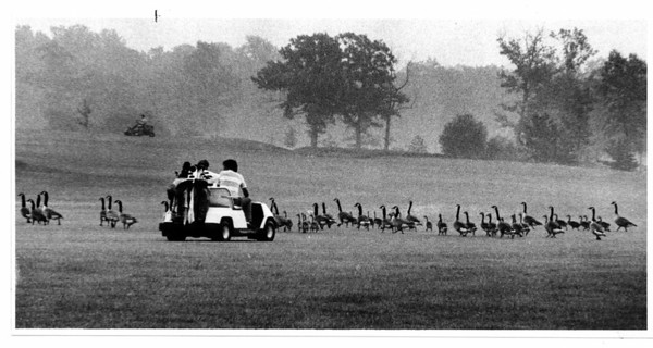 Nature - Canadian Geese<br /> Playing the 14th hole atBeaver Island Golf Course could be for the birds. Canadian Geese cross the fairway on there way back to the water pond.<br /> Photo - By Ron Schifferle - 6/7/1986.