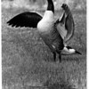 Nature - Canadian Geese<br /> A goose (Canadian) flaps its wings in warning at a photographer on a Kies Ave puddle (in a field).<br /> Photo - By James Neiss - 4/19/1989.
