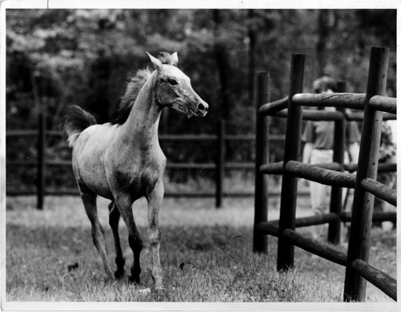 "Christmas - Festival Of Lights<br /> For Festival of Lights Auction 3 - 4 month old Arabian Colt ""revue"".<br /> Photo - By Ron Schifferle - 10/1/1986."