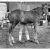 Horses - Flaming Star<br /> Flaming Star a 2 month old colt at the Sunrise Stables on Niagara Falls Blvd. in Wheatfield gets groomed by Paula Marriot of North Tonawanda.<br /> Photo - By Bob Bukaty - 9/7/1983.