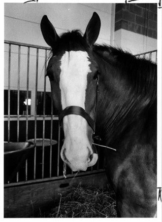 Horses - Mike<br /> Mike eating hay after being unloaded from a tractor trailer...Mike is one of the ten Clydesades horses that will be in the parade in North Tonawanda.<br /> Photo - By Ron Schifferle - 7/22/1988.