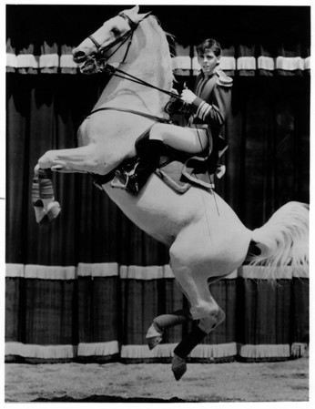Convention Center<br /> Royal Lippizzaner Stallion.<br /> Photo - By Niagara Gazette - 3/26/1981.