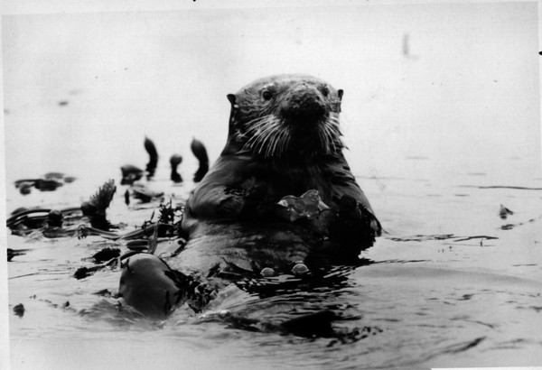 "Environmental - Sea Otter<br /> The undersea Worl of Jacques Cousteau - ""the Unsinkable Sea Otter"".<br /> Photo - By Niagara Gazette. - 1971."