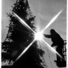 Christmas - Festival of Lights<br /> Putting the final touch on a large blue spruce tree in the Rainbow Mall area for the Festival of Lights, Pat Langer, Parks Department employee, Niagara Falls.<br /> Photo - Ron Schifferle - 11/25/1986.