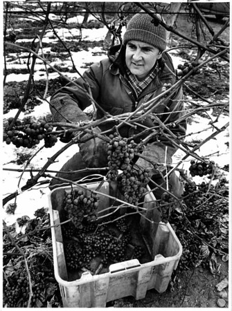 Food - Grapes<br /> John Watson picking frozen vidl grapes on his farm in Virgil, Ontario.<br /> Photo - By Ron Schifferle - 1/6/1988.