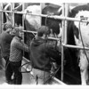 Dairy - Cattle<br /> Cattle are lined up ready to be milked.<br /> Photo - By Niagara Gazette - 12/12/1971.