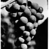 Food - Grapes<br /> Photo - By Niagara Gazette - 9/1/1986.