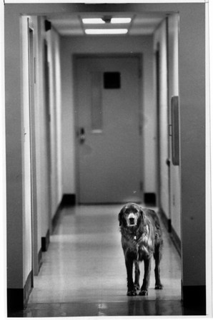 Police- Scotch a neighbors dog likes to spend his days at the Niagara County Sheriffs office in Lockport.<br /> Photo - by James Neiss 1/14/1991.