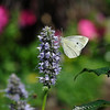 James Neiss/staff photographerYoungstown, NY - A butterfly visits a flowering Hyssop at the Youngstown Bicentennial Peace Garden that will officially open next weekend at Falkner Park.