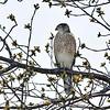 Niagara Falls,  NY - A bird of prey eyes up the area around Hyde Park Lake from a lofty perch on Tuesday.