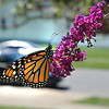 James Neiss/staff photographerNiagara Falls, NY - A Monarch Butterfly enjoys a bit of nectar outside the Christ Redemption Tabernacle on 22nd Street.