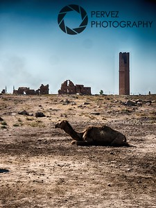 Camel overlooking the ruins of the University of Harran in Turkey