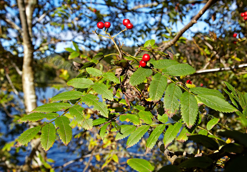 Inchmahome Priory - Berries - 7 October 2012