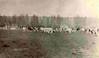Polytechnic Dairy Herd 1930s