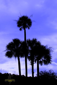 Palmettos In Silhouette