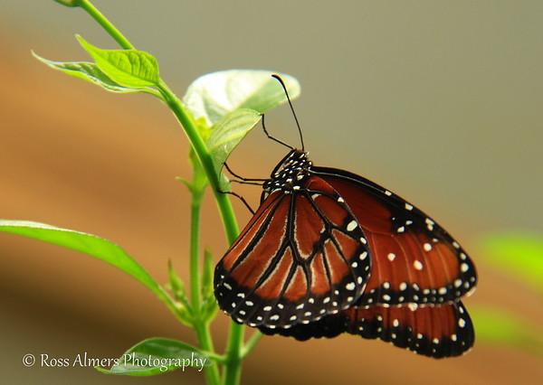 Danaus gilippus-Queen Butterfly