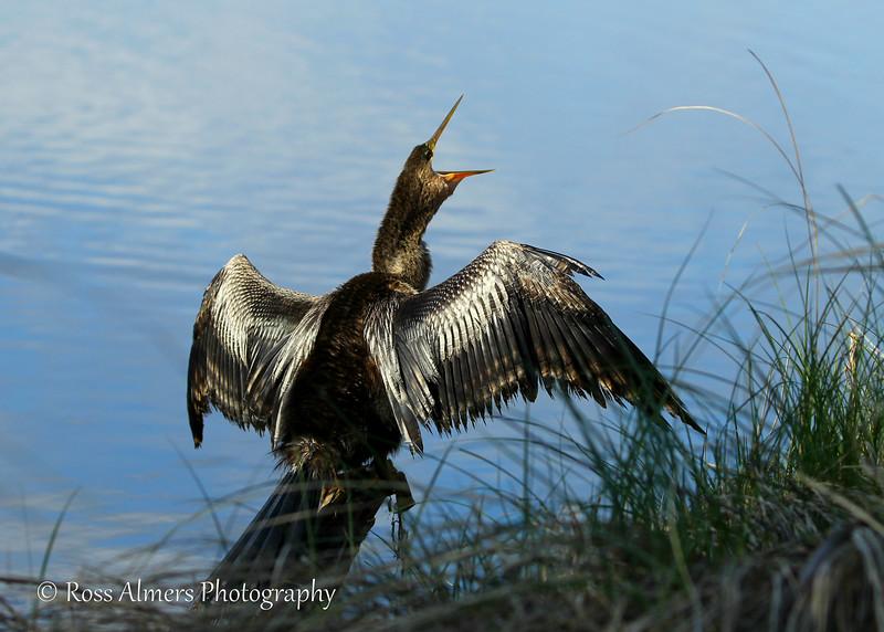 Snakebird or Anhinga