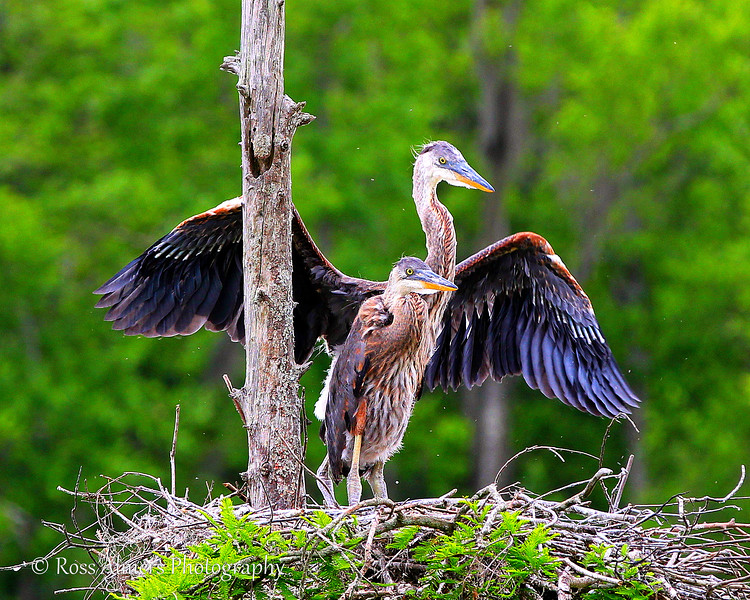Great Blue Herons (Ardea herodias)