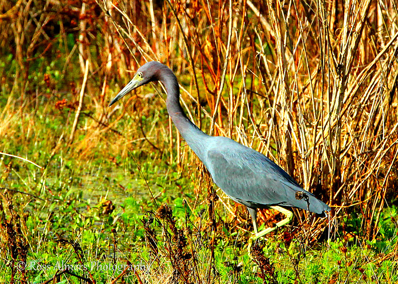 Little Blue Herons (Egretta caerulea)