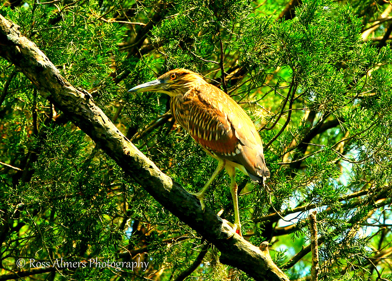 Black Crowned Night Heron Juvenile (Nycticorax nycticorax)