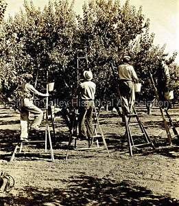 Workers picking apricots in a Santa Clara orchard in 1938