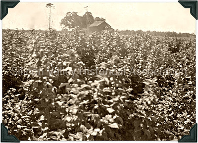 Crop of berries on the vine at a farm in Santa Clara, California - 1919