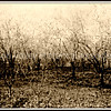 Orchard trees with white blossoms - 1919 in Santa Clara, California
