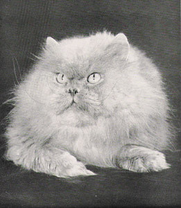 CH Foxburrow Frivolous, Blue Persian, born 1952