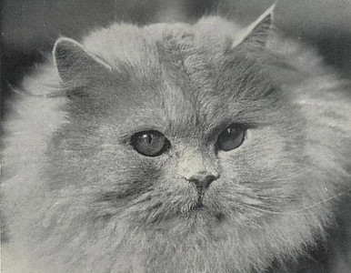 GCH Dewdrop of Dunesk, blue Persian, born 1933, UK