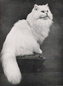 CH Langherne Winsome, Chinchilla Persian, born 1938, UK