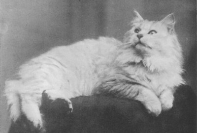 His Majesty of Whitehall, Chinchilla Persian, born 1900, UK  His Majesty of Whitehall, Chinchilla perser, født 1900, UK