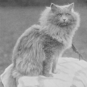 CH Skellingthrope Patrick, Blue Persian, born 1898, UK  CH Skellingthrope Patrick, Blå perser, født 1898, UK