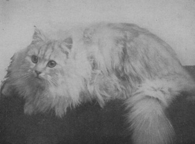 Geneva Laddie, Chinchilla Persian, born 1907, UK  Geneva Laddie, Chinchilla perser, født 1907, UK