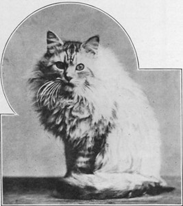 Silver Lambkin, Chinchilla Persian, born 1889, UK  Silver Lambkin, Chinchilla perser, født 1889, UK