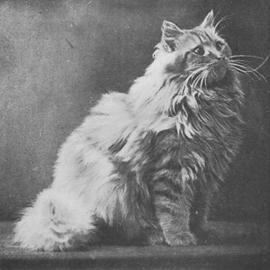 Torrington Sunnysides, Red Persian, born 1899, UK  Torrington Sunnysides, Rød perser, født 1899, UK