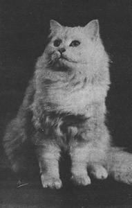 ENGCH Foxburrow Tilliwilli, Chinchilla Persian, born 1943, UK