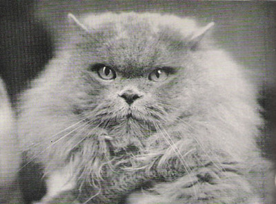 CH Harpur Blue Boy, Blue Persian, born 1947, UK