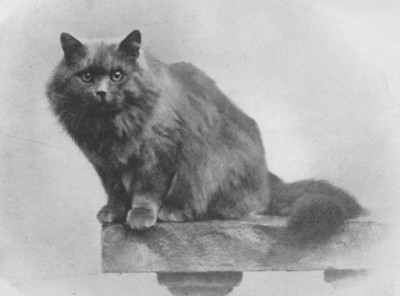 CH Zeus of Thorpe, blue Persian, born 1903, UK  CH Zeus of Thorpe, blå perser, født 1903, UK