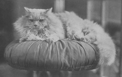 Sunset Invincible, Cream Persian, born 1919 UK (?)  Sunset Invincible, Creme perser, født 1919 UK (?)