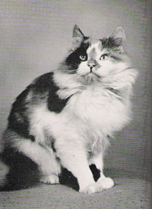 CH Hendon Snow Maiden, Calico, Tortie with White Persian, born 1950, UK