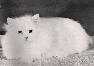 Grand and Quad. CH Lee's Hi-Hat Sweet Regardless, Blue-eyed White Persian, born 1948, USA