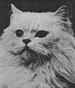 Peri of Boreham, Chinchilla Persian, born 1927, UK