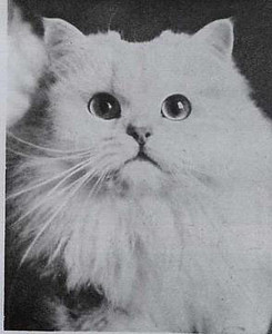 GCH Mark of Allington, Chinchilla Persian born 1952, UK