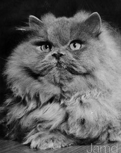 CH Octavian of Pensford, Blue Persian, born 1955, UK  CH Octavian of Pensford, blå perser, født 1955, UK