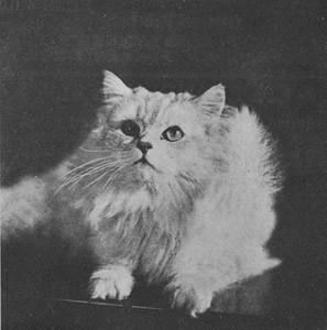 CH DCH Silver Echo of Claremont, Shaded Silver Persian, born 1917, UK  CH DCH Silver Echo of Claremont, Shaded Silver perser, født 1917, UK