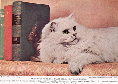 DCH Idalia of Pequossette, Chinchilla Persian, born 1930, USA